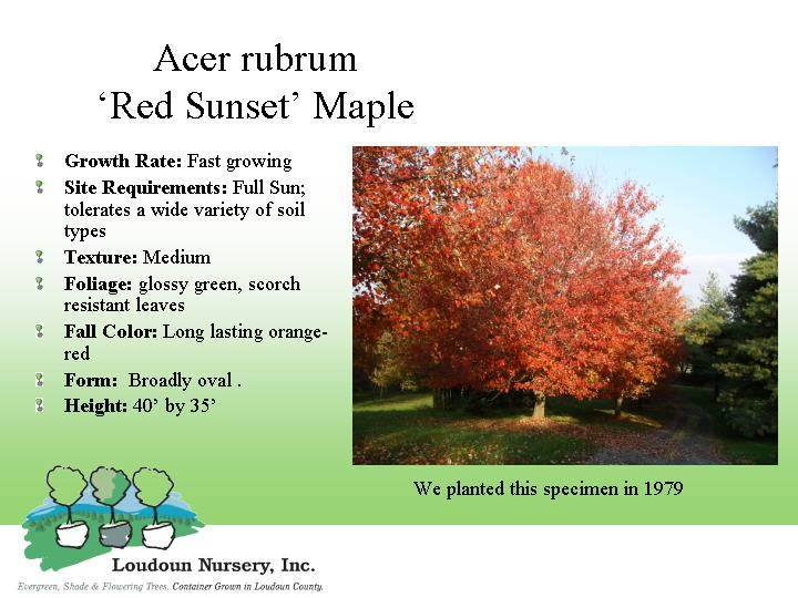 Acer Rubrum Red Sunset Maple